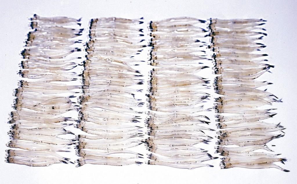 白魚(シラウオ)の画像